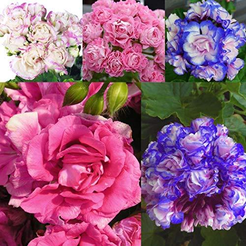 Qulista Samenhaus - England Stehende Geranie 'Appleblossom' Balkonpflanzen Blumensamen winterhart mehrjährig, Hit in Balkonkästen, Kübeln und Beeten