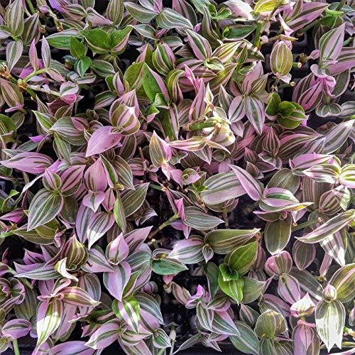 Rare House Plant Tradescantia Fluminensis Lilac in Pot (3.5x3.5 inch Pot)
