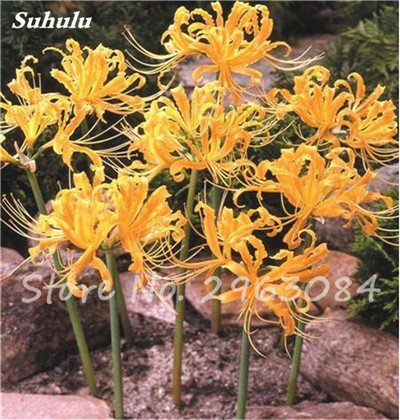 Big Sale! 100 Pcs Red Lycoris Graines Plante en pot Lycoris Radiata Graines de fleurs Plantation vivace intérieur Fleurs Bonsai Graine de plantes 1