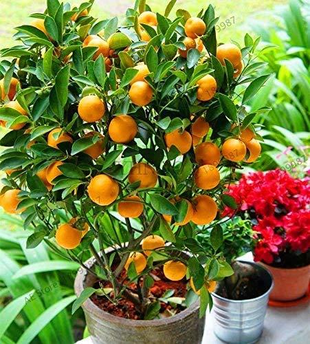 Bloom Green Co. 20 Pcs citron Bonsai Nouveau DrawF Arbre de fruits bio pour jardin Fournitures Easy Grow Exotique Citrus Bonsai Arbre en pot frais Plante: 18