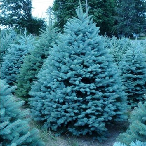 Graines de Blue Spruce Seeds Picea Arbre en pot Bonsai Courtyard Garden Bonsai usine Pine Tree 20 graines / paquet