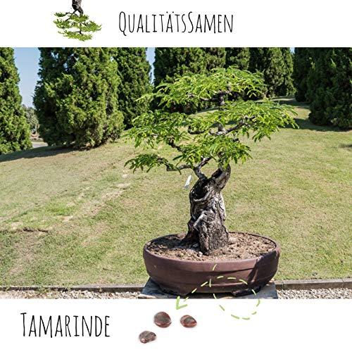 Exotische Bonsai Samen mit hoher Keimrate - Pflanzen Samen Set für deinen eigenen Bonsai Baum (1x Tamarinde)