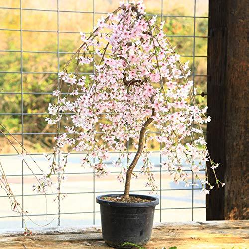 庭木:桜・しだれ富士桜(一重しだれ桜)