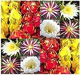 ScoutSeed (10) Mezcla de semillas Selenicereus - Cactus claro de luna - Reina de la...