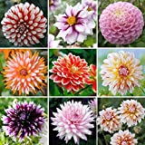 Exotic Mix Dahlia Flower Seeds, Exotic Mix (Big Pack) 200+ Seeds - Made in USA, Ships from Iowa. Grow Beautiful Dahlias