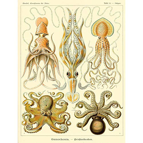 Wee Blue Coo Nature Ernst Haeckel Octopus Biology Germany Vintage Art Print Poster Wall Decor 12X16 Inch