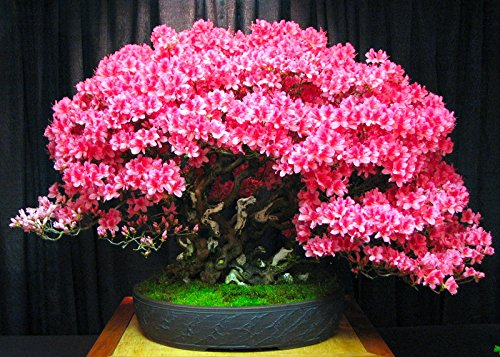 Chinese REDBUD/Judasbaum 60 BONSAIS SEEDS - Cercis chinensis