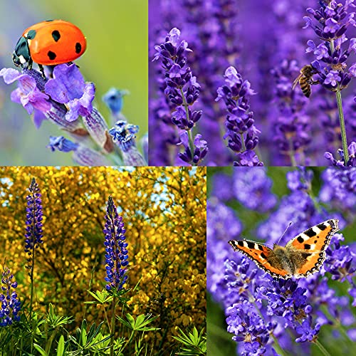 English Lavender Seeds,700 Seeds, 700mg, 90% Germination, to Give You The Lavender Plant You Need, Non-GMO, Heirloom Seeds