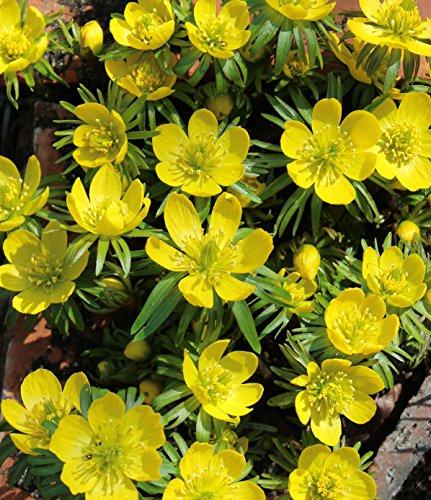 Winterlinge Eranthis Cilicica (50 Blumenzwiebeln)