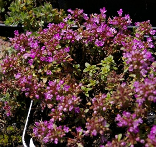 Thymus pseudolanuginosus - Grauer Polster Thymian - Bienenweide Preis nach Stückzahl 3 Stück