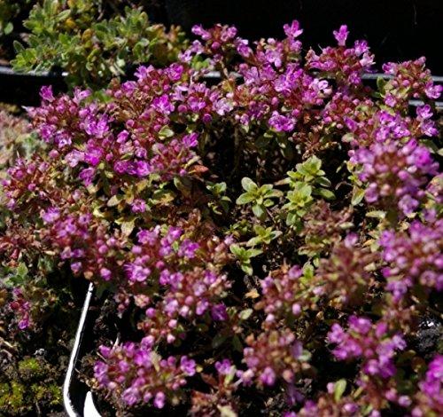 Thymus pseudolanuginosus - Grauer Polster Thymian - Bienenweide Preis nach Stückzahl Einzelpreis