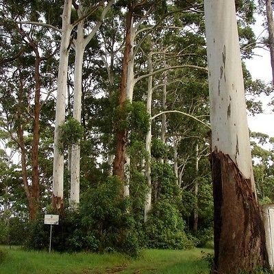 Eucalyptus Rose Graines de gommier (Eucalyptus grandis) 100 + Graines
