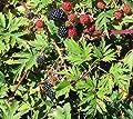 1 Triple Crown Thornless Blackberry Plant. Healthy grown pesicide free non GMO