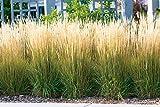 Garten-Reitgras 'Karl Foerster' - Calamagrostis x acutiflora - als Hecke