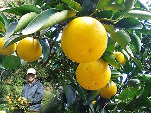 知る人ぞ知る!青木名人の減農薬 ニューサマーオレンジ(日向夏) 3kg 【果物 旬 ニューサマーオレンジ】