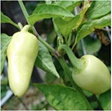 PREMIER SEEDS DIRECT - HOT Chilli Pepper - CALORO - 325 Finest Seeds