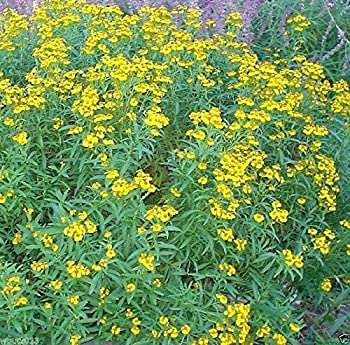 300 Mexican Tarragon Seeds Mexican Mint ,Herb,thrives it hot humid climate!