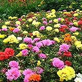 Fuduoduo De Semillas De Hortalizas De Primera,Semillas de Clavel de Plantas fáciles de Vivir-0.5kg_Color Mixto,Raras Semillas De Hierba