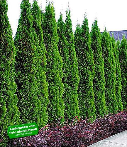 BALDUR Garten Thuja Smaragd Lebensbaum, 1 Pflanze, occidentalis, Thujahecken winterhart