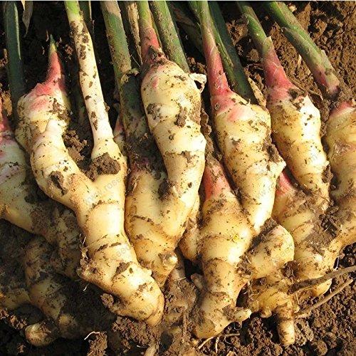 Vivaces graines de gingembre graines de légumes Zingiber graines officinale balcon fruits et légumes - 100 pcs