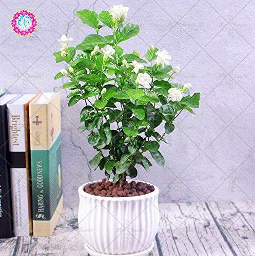 20pcs blanc jasmin Graines Bonsai Graines de fleurs de jasmin d'Arabie aromatique plante bonne odeur vivaces en pot Graines de fleurs pour le jardin