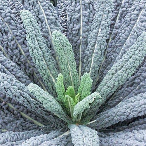 Park Seed Black Magic Kale Seeds