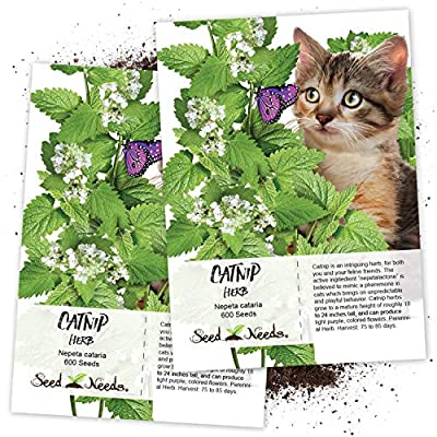 Seed Needs, Catnip Herb (Nepeta cataria) Twin Pack of 600 Seeds Each Non-GMO