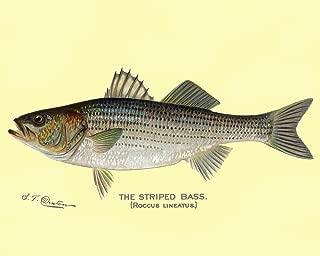 Striped Bass, Denton Fish Print (9x12 Fine Art Print, Home Wall Decor Artwork Poster)