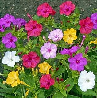 Non GMO Four O'Clock Mix Flower Seeds Mirabilis Jalapa (5 Lbs)