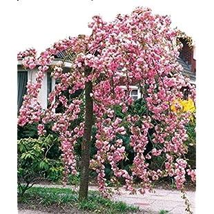 Cheal's Weeping Pink Flowering Cherry Tree 4-5ft,P.Serrulata Kiku Shidare Zakura 5L Pot 3fatpigs:Maskedking