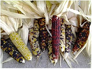 mini maize