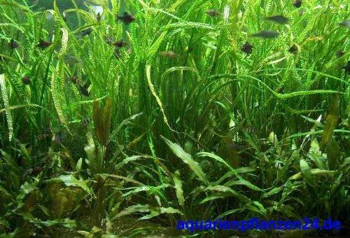 Mühlan Topartikel- 4 Töpfe Cryptocorynen, Crypto Mix, Wasserpflanzen für das Aquarium, Aquariumpflanzen
