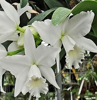 hawaiian orchid bouquets