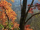 Quercus RUBRA - Roble ROJO. 5 bellotas rojas
