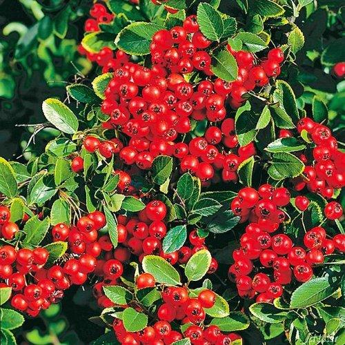 Feuerdorn Red Column Pyracantha Rot – Immergrüne Pflanze als Sichtschutz-Hecke - Heckenpflanze/Kletterpflanze von Garten Schlüter