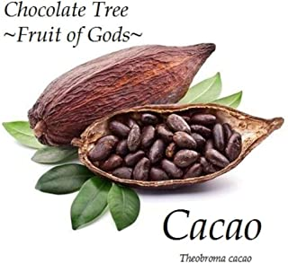 Cacao Seedling Cocoa Healthy Chocolate Tree Tropical Fruit Small Pot'd Starter Plant HD7