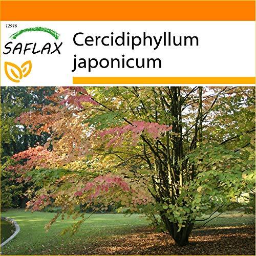 SAFLAX - Garden in the Bag - Lebkuchenbaum - 200 Samen - Mit Anzuchtsubstrat im praktischen, selbst aufstellenden Beutel - Cercidiphyllum japonicum