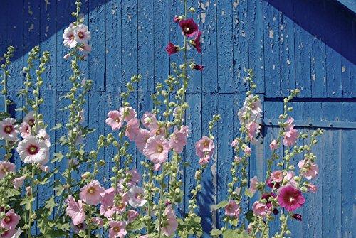 15 graines Fleurs - ROSE TREMIERE à fleurs doubles - Alcea rosea