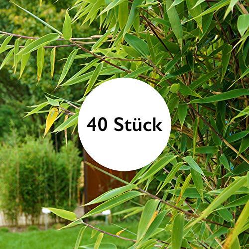 Pflanzen Kölle 40er-Set Fargesia spathacea Red Zebra®, Zebrabambus, Höhe 80-100 cm, im 10 Liter Topf