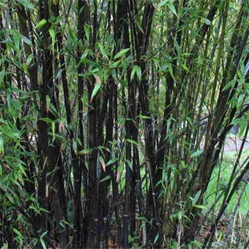 Hot! 50pcs gratuit d'expédition frais Graines de bambou géant pour le jardin de la maison DIY Arbre ménages Graines