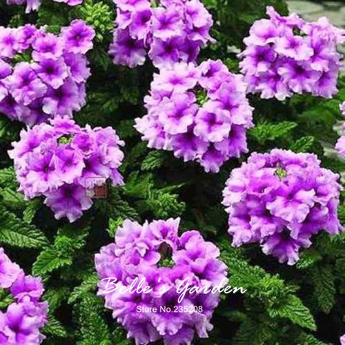 100pcs multi-couleurs Variété Verveine Graines Hardy Plantes Graines de fleurs exotiques Fleurs ornementales Bonsai Graines 05
