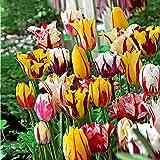 20x Tulipa-Triumph Rembrandt   Tulpenzwiebeln   Farbmischung   Mehrjährige blühende Pflanzen   Ø 11-12cm