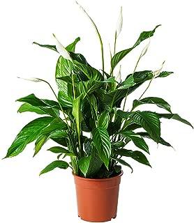 AMPLEX Spathiphyllum Peace Lily Live Plant, 6
