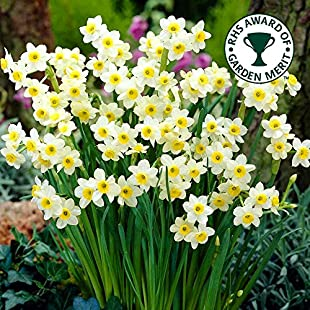 NARCISSUS MINNOW DWARF ROCKERY DAFFODIL NARCISSI SPRING FLOWERING BULBS (5)