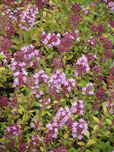 Thymus serpyllum - Feldthymian, 24 Pflanzen im 5/6 cm Topf