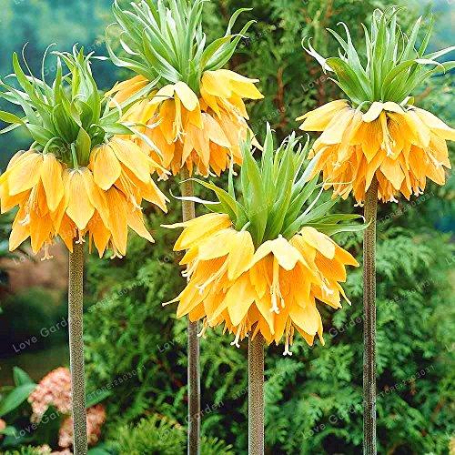 Bloom Green Co. Corona Imperial Bonsai Wang Fritillaria Bonsai Inicio Planta rara Bonsai Garden Ground Cover Planta Fácil de cultivar 30 PCS: mezclar