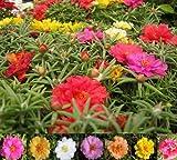 75+ MOSS ROSE MIX/PORTULACA/SUCCULENT/semi di fiore annuali/copertura del suolo