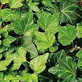 Gemeiner Efeu - Hedera Helix - Efeuranke als Sichtschutz oder Bodendecker - Kletterpflanze für Garten, Teich und Vorgarten - Efeublätter winterfest und immergrün - Pflanzen in Top Qualität von Garten