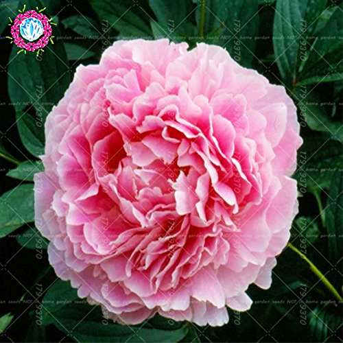 Chinese National Flower 5 graines Pcs Pivoine Plante en pot Paeonia suffruticosa Arbre Terrasse Cour Illuminez votre jardin personnel