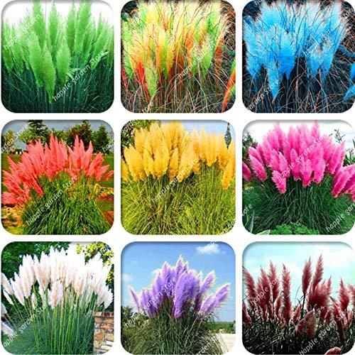 Große Förderung !!! 400 Stück Pampasgras seltene exotische Pflanze für Hausgärten Einpflanzen Selloana Bonsai-Garten Decor DIY Pampas Grass: Mix